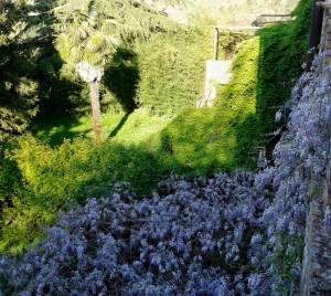 Il glicine del Giardino di Mezzogiorno