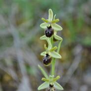 (Italiano) Orchidea Selvaggia
