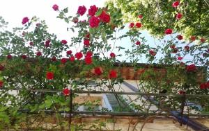 sempre le rose di Nonna Maria