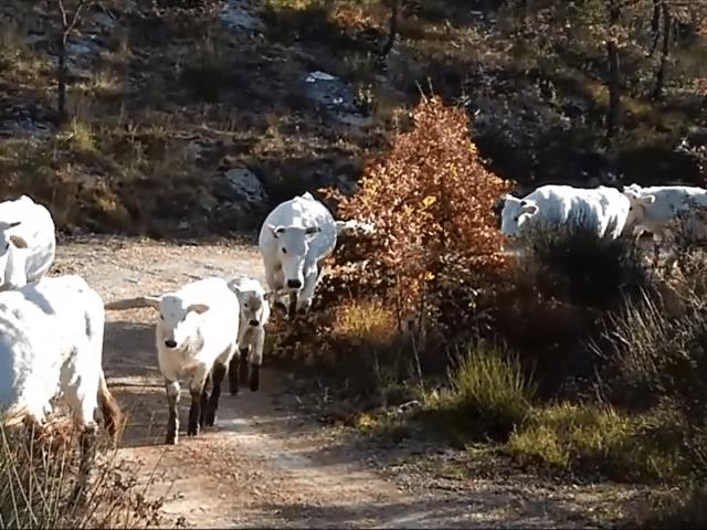 Trasferendo le vacche a Nervano…